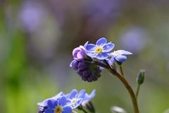 Forget-Me-Not      Hermagis Paris Anastigmat  Major  1:4.5  F 105m/m (情事針寸II) Tags: 三枚玉 青 マクロ撮影 自然 花 勿忘草 triplet oldlens blue bokeh macro nature myosotis fleur flower forgetmenot hermagisparisanastigmatmajor145f105mm