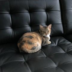 새 가구는 일단 비비 차지 #BB8 #cat #catsofinstagram #sofa #ikea #landskrona (Seattle Raindrops) Tags: bb8 cat catsofinstagram sofa ikea landskrona