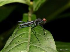 Stilt-legged Fly, Taeniapterinae (Ecuador Megadiverso) Tags: andreaskay diptera ecuador fly jardinbotanicolasorquideas stiltleggedfly taeniapterinae
