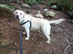 Gracie climbing a slope (walneylad) Tags: gracie dog canine pet puppy cute lab labrador labradorretriever january winter newyearsday princesspark