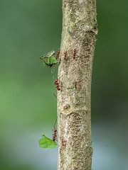 Leaf Cutting Ants (wwarby) Tags: centralamerica costarica abroad animal ants branch holiday holiday2018costarica insect leafcuttingant outdoors plant rainforest tree vacation wild wildlife