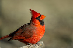 Northern Cardinal-45696.jpg (Mully410 * Images) Tags: birdwatching male cardinal backyard northerncardinal bird birds birding birder crest