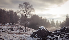 Tarn Hows Tree (GraemeKelly) Tags: graemekellyphotography kelly photography tarn hows cumbria lakedistrict nationalpark winter snow