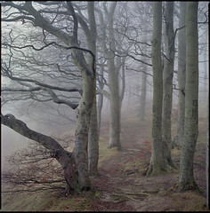 life's a beech (steve-jack) Tags: hasselblad 501cm 150mm kodak ektar 100 film 120 6x6 medium format trees beech wood woodland mist tetenal c41 kit epson v500