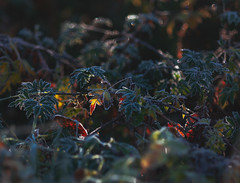the frist frost (cathy sly) Tags: fall frost light november18