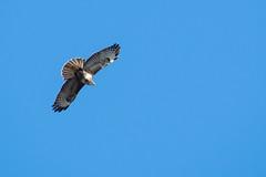 Common Buzzard (DGooding89) Tags: common buzzard flight flying bird prey raptor