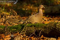 Pheasant (Phasianus colchicus) (gcampbellphoto) Tags: phasianus colchicus pheasant game bird nature wildlife spring county antrim northern ireland gcampbellphoto animal