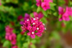 A red beauty (NguyenMarcus) Tags: worldtracker aasia flowers nature vungtau bàrịa–vũngtàu vietnam vn