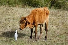 Héron garde-bœufs Bubulcus ibis - Western Cattle Egret (Ezzo33) Tags: hérongardebœufs bubulcusibis westerncattleegret france gironde nouvelleaquitaine bordeaux ezzo33 nammour ezzat sony rx10m3 parc jardin oiseau oiseaux bird birds specanimal