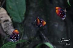 hop to it (X4PPQKLUUFG5QNNMUCRV4KROFX) Tags: butterfly riodinidae borneo sarawak nature rainforest limestone karst jungle lepidoptera insect flight