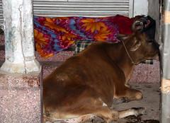 sleeping with the cow (Weltbürgerin) Tags: india uttar pradesh varanasi street people man animal cow