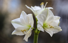 White Glamour (AnyMotion) Tags: hippeastrum ritterstern amaryllidaceae floral flowers blossom blüte plant pflanze bokeh 2018 anymotion nature natur frankfurt vase 6d canoneos6d colours colors farben white weiss ngc npc