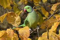 Green and Gold (2) (Eleanor (No multiple invites please)) Tags: bird roseringedparakeet maleroseringedparakeet autumnleaves leaves kensingtongardens london nikond7200 november2018 coth5