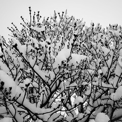 Snow 4 (justingreen19) Tags: england ricoh ricohgrii seasons suffolk branches cold contrast justingreen19 mono nature snow snowonbranches snowontree square trees urban urbanabstract weather winter