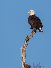 Bald Eagle (NicoleW0000) Tags: baldeagle eagle raptor birdofprey bird wildlife nature ontario canada
