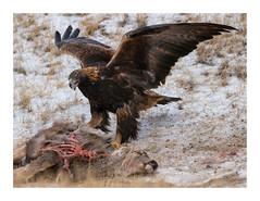 Yellowstone, Golden Eagle (Andrew (westpalmdoc1)) Tags: sony70400gii sonya99ii yellowstone goldeneagle eagle