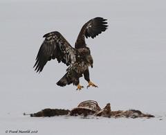 Bald Eagle with White-tailed Deer carcass (Frank Mantlik) Tags: adirondackpark baldeagle carcass haliaeetusleucocephalus newyork predator whitetaileddeer winter
