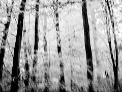just a soft breeze (szélléva) Tags: icm bnw forest wood trees monochrome autumn
