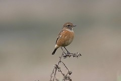 0M2A0538 Stonechat (kevin_livesey) Tags: wildlife nature wetlands wwt martinmere birdwatching bird stonechat