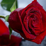 drops of water on a beautiful rose thumbnail
