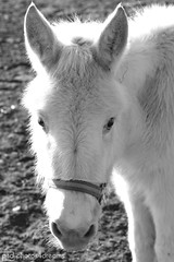 white donkey (photos4dreams) Tags: gersprenz münster hessen germany naturschutz nabu naturschutzgebiet photos4dreams p4d photos4dreamz nature river bach flus naherholung