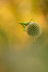Aux aguets (schwartzdavid57) Tags: 2018 macro mante religieuse mantis pentax proxy insecte 300mm k3