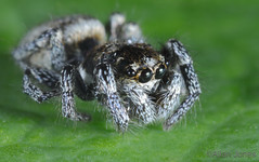 Cute Spider (Allan Jones Photographer) Tags: spider arachnid zebraspider jumpingspider spidermacro extrememacro nature leaf hairy eyes allanjonesphotographer canon5div canonmpe65mmf2815xmacro