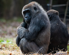 Gorilla (Miracle Man) Tags: nikond750 nczoo gorilla mammal fauna wildlife zoo