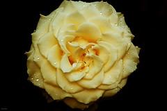 Do meu jardim... (Zéza Lemos) Tags: jardim flores flor flowers rosas rose rosa roseiras portugal vilamoura pétalas água plantas planta