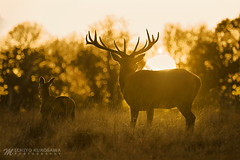 Red Deer (Michiyo Photo) Tags: deer reddeer richmondpark park richmond nature animal autumn winter sunset orange colour evening 2018 canon 5d surrey southern southernengland