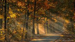 Sun rays on my path (BraCom (Bram)) Tags: 169 bracom bramvanbroekhoven gelderland holland nederland netherlands nunspeet autumn blad bladeren bomen boom bos fall fog foliage forest gebladerte herbst herfst landschap leaf leaves mist morning ochtend paaltjes pad path poles schaduwen shadows sunrays sunlight tree trees widescreen woods zonlicht zonneharpen zonnestralen nl