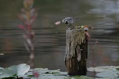 DSCF6558 (jojotaikoyaro) Tags: bird animal nature wildlife suginami tokyo japan fujifilm xh1 xf100400mm