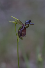 Caleana major - Large Duck Orchid (ab_orchid) Tags: native orchid species australia