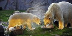 Nanook (Michael Döring - thx for 20.000.000 views) Tags: gelsenkirchen bismarck zoomerlebniswelt zoo nanook eisbär polarbear afs70200mm28g d800 michaeldöring