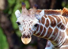 In Your Face (Kaptured by Kala) Tags: fortworthzoo mammal closeup zoo fortworthtexas reticulatedgiraffe giraffacamelopardalis giraffe largeanimal lookingatme newspeciesforme face portrait