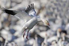 Snow Goose (Alan Gutsell) Tags: snowgoose snow goose aransasnwr nationalpark texasbirds texas gulf coast houston flying flight migration white naturephoto wildlife