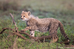 Curious Cheetah Cub (tkfranzen) Tags: cheetah cheetahcub acinonyxjubatus tanzania ndutu africansafari africanwildlife africa tnclivenature animalplanet iucnvulnerable endangeredspecies conservation
