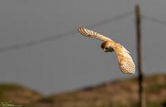 Early Morning Barn Owl (Steve (Hooky) Waddingham) Tags: stevenwaddinghamphotography animal planet wild wildlife countryside coast bird british barn voles mice morning nature northumberland prey owl