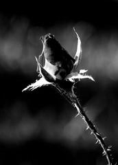 Róża. (andrzejskałuba) Tags: poland polska pieszyce dolnyśląsk silesia sudety europe panasonicdmcfz200 lumix plant roślina rose róża kwiat flower monochrome blackwhite black white beautiful spidersweb twig gałązka flora floral natura nature natural natureshot natureworld 1000v40f 1500v60f