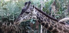 Masai Giraffe (ANiceCupofTea) Tags: masaigiraffe giraffe lazoo losangeleszoo california
