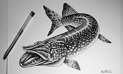 Pike Study (ballpoint pen art) - Brochet Etude (dessin au bic) (Ben Heine) Tags: brochet dessin drawing ballpointpen fish poisson pike sketch bic bicart bicartist animal art biology biologie science tutoriel progress
