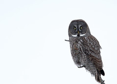 Great Gray Owl...#11 (Guy Lichter Photography - 4.4M views Thank you) Tags: canon 5d3 canada manitoba wildlife animals birds owl owls greatgrayowl explore