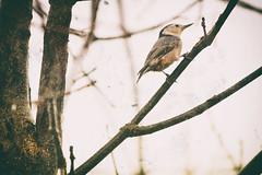 Ready to Soar (flashfix) Tags: november032018 2018inphotos flashfix flashfixphotography ottawa ontario canada nikond7100 55mm300mm nuthatch bird birdphotography texture branches lines nature mothernature animal