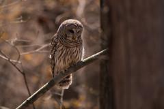 Barred Owl (NicoleW0000) Tags: barredowl owl bird birdofprey wild wildlife wildlifephotography ontario