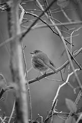 L'Hiver du Rouge-Gorge (Amanda Hinault - 風流韻事) Tags: ccbysa photobyamandahinault creativecommons fuji xt1 fujixt1 animaux animals faune oiseau bird rougegorgefamilier erithacusrubecula hiver