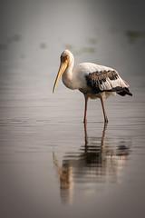 HoskoteBirding_Jan2019_D75_8408 (mgcs) Tags: hoskote birds indianbirds karnataka nikond750 nikkor200500 wild handheld