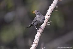 Merlo _015 (Rolando CRINITI) Tags: merlo uccelli uccello birds ornitologia avifauna montebaldo natura