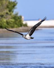 Osprey on Tigertail Beach. (Albatross Imagery) Tags: nikond500 follow usa floridawildlifephotography floridawildlife flickrwildlife flickr instagram wildbirds eyes gorgeous beautiful wingspan wings feathers tigertailbeach marcoislandflorida florida naturephotography nature photographer photo photography nikkor nikonwildlife nikonphotography nikon wildlifephotographer wildlifephotography wildlife bird birds raptor raptors birdofprey birdsofprey osprey