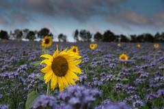 facécieux tournesols au milieu des phacélies (Patrick Doreau) Tags: tournesol phacélies fleur champ campagne rural jaune bleu mauve flower campaign