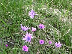 DSCN0070 (Gianluigi Roda / Photographer) Tags: springtime april 2013 wildflowers anemonehortensis